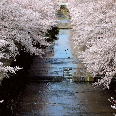 Fugaz magia da primavera, Ondagawa