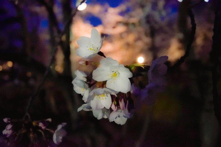Sakura mekar di taman nasional