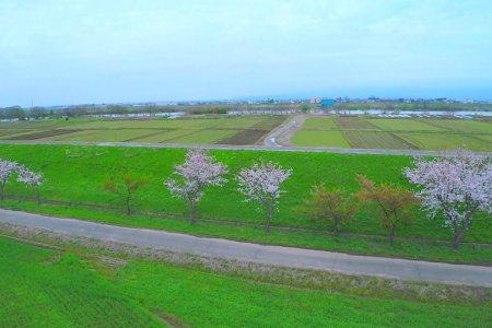 Voando por Campos Cheios de Sakura
