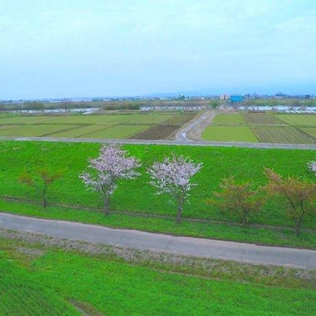 草原の桜並木を飛ぶ