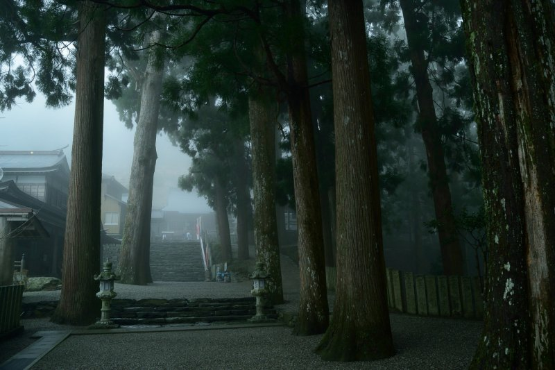 <p>Huge cedars stand in the garden</p>