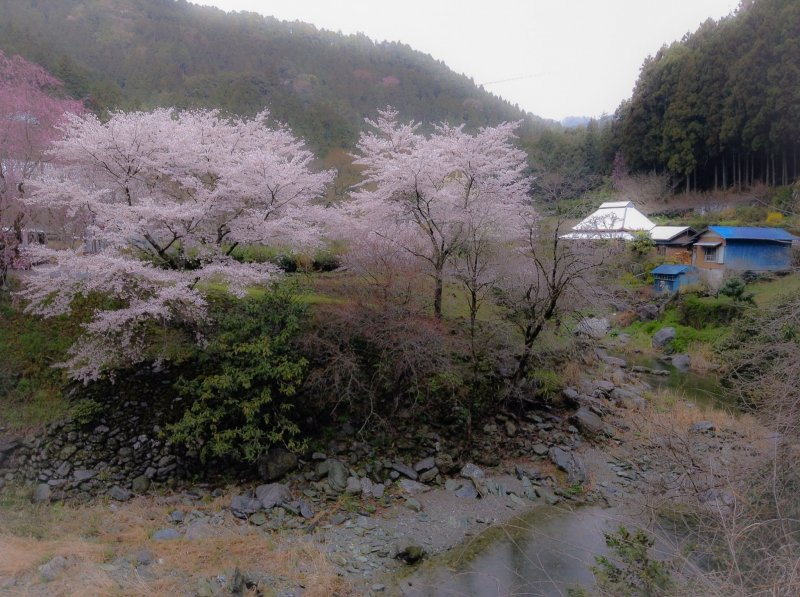 <p>Enjoy cherry blossoms on the way to the temple</p>