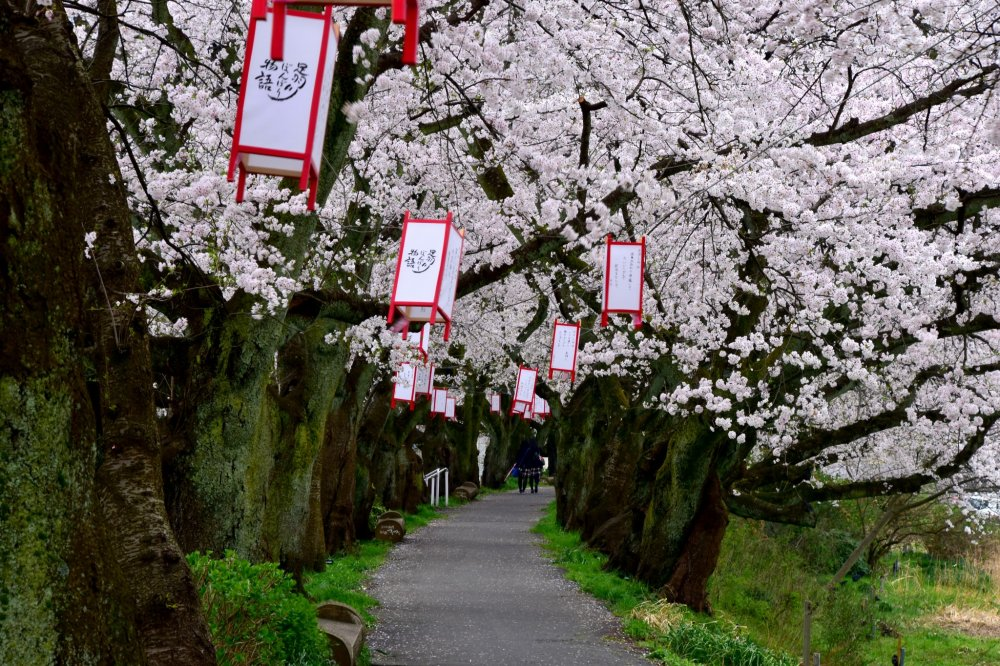 The pathway along Asuwa River in Fukui is lined with gorgeous cherry trees on both sides