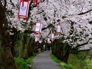 Passeio pedestre ao longo do rio Asuwa, Fukui, decorado por deslumbrantes fileiras de cerejeiras em flor