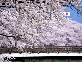Looking at Sakura Bridge surrounded by pretty cherry blossoms