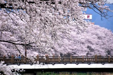 <p>Looking at Sakura Bridge surrounded by pretty cherry blossoms</p>