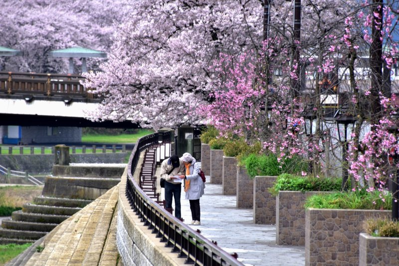 <p>A couple looking at a map on the sidewalk of Asuwa River surrounded with beautiful cherry blossoms</p>