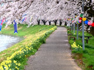 Pretty pathway along a river is decorated with yellow daffodils and pink cherry blossoms