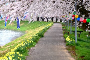 <p>Pretty pathway along a river is decorated with yellow daffodils and pink cherry blossoms</p>