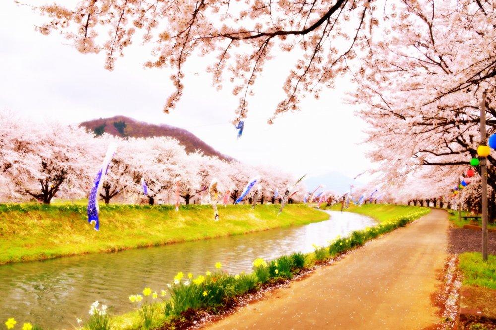 아름다운 벚나무에 둘러싸인 강 위를 헤엄치는 잉어들의 꿈 같은 풍경