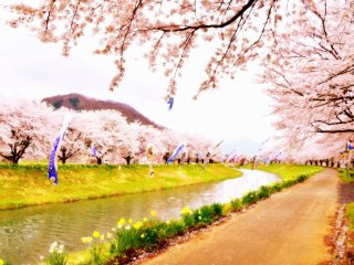 Khung cảnh huyền ảo của những chiếc cờ cá chép bay phấp phới trên một dòng sông bao quanh là những cây anh đào tuyệt đẹp