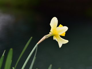 Một bông hoa thủy tiên nghiêng mình soi bóng trên sông