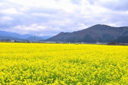 Paraíso da Mostarda em Fukui