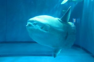 A sunfish floats mysteriously by