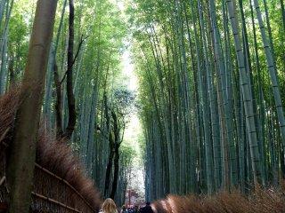 시원시원한 대나무 길