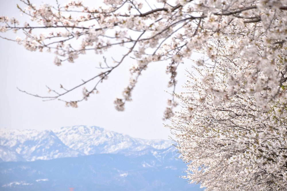 Cherry tree boughs with snowy mountains in the background