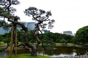 潮入りの池(東京湾の海水を引き入れた池)ボラ、セイゴ、ハゼなどの海水魚が棲息している