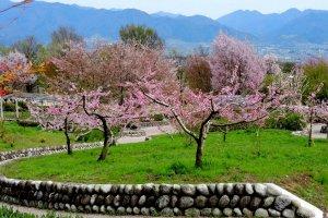 Stone walls enclose the peach trees