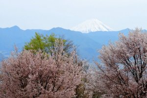 Cherry blossom, blue mountains and Mount Fuji in the distance