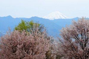 Hoa anh đào, núi non xanh biếc và núi Phú Sĩ nhìn từ đằng xa