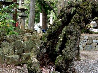 Salah satu pohon sakura tertua