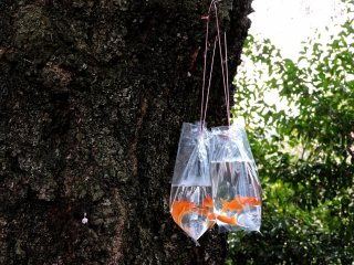 Goldfish hanging on a tree trunk while their new owners eat bento nearby