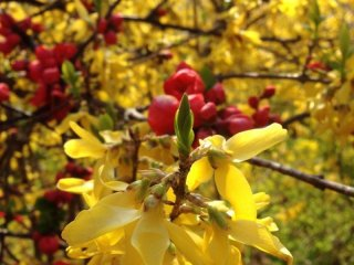 Spring is not only about cherry blossoms. You can also find Japanese Quince and Golden Bells.