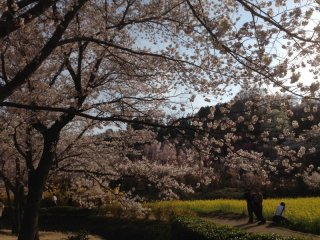 One of my favorite spots. The whitish pink blossoms against the golden yellow background is fantastic!