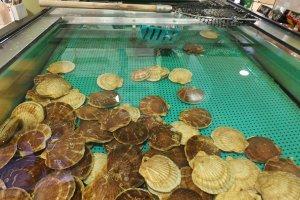 หอยเชลล์ในบ่อใหญ่ใจกลางร้าน อาโอโมริโฮตาเตะโกยะ พร้อมรอให้คุณมาตก