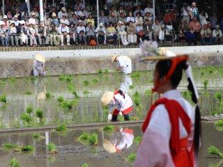 Cet événement, faisant appel aux services de quantité de figurants, attire une foule nombreuse, qui vient notamment profiter du spectacle offert par les danseuses pendant la plantation du riz par les paysans