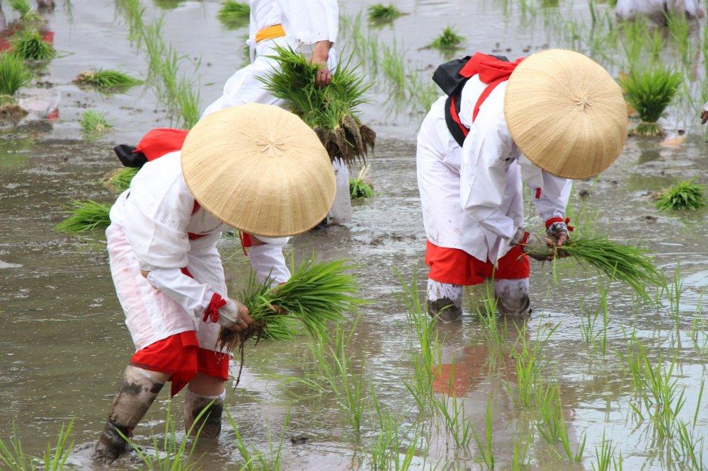 L'Otaue Rice Planting Festival d'Osaka a lieu chaque année le 14 juin au sanctuaire Sumiyoshi Taisha