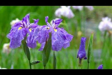 Iris Fields in Meiji Jingu