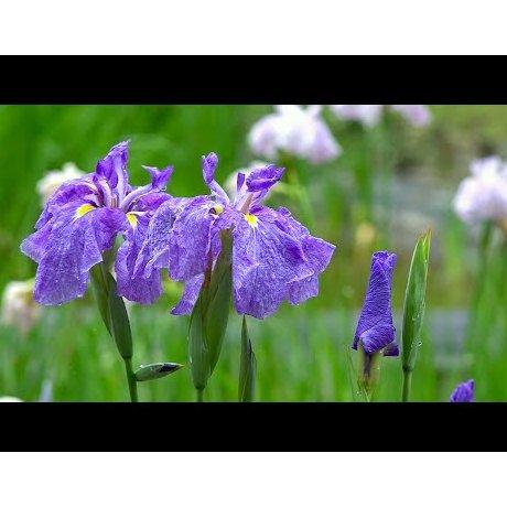Padang Bunga Iris di Meiji Jingu