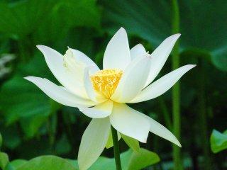 清らかな白いハスの花