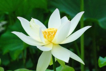 A pure white lotus flower