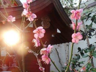 โคมไฟและดอกพลัมภายในบริเวณศาลเจ้า นิชิกิ เท็นแมนกุ