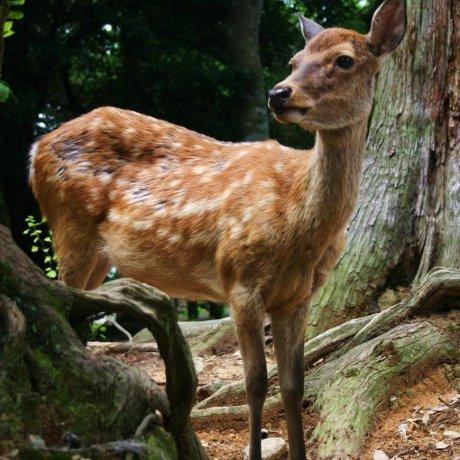 奈良県が動画『奈良のシカ』を公開