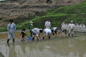 Planting Rice in the Hills of Teshima