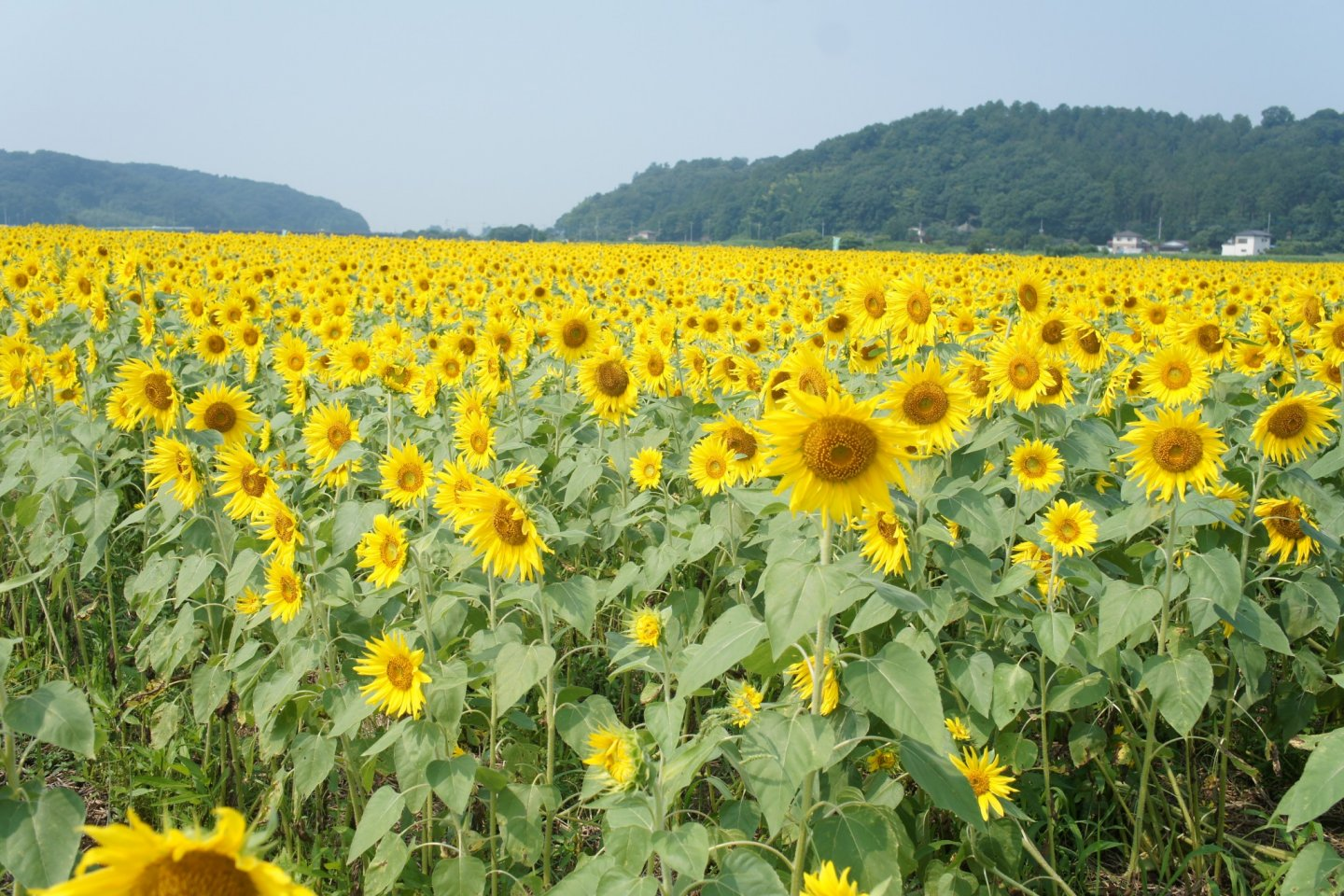 Yellow field of sunflowers stretches into the horizon
