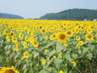 Желтое поле подсолнечников растянулось за горизонт