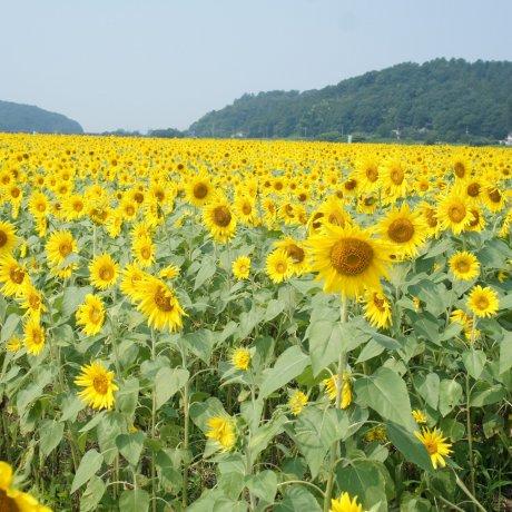 Flower Festival in Mashiko