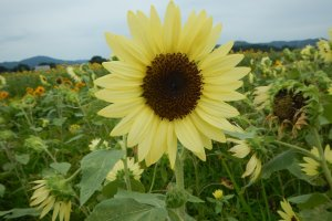 A closer look at the so-called 'lemon' sunflower