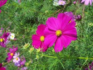 Близкий ракурс на розовую красоту. Цветок не имеет запаха, но очень освежает неказистую обстановку комнаты