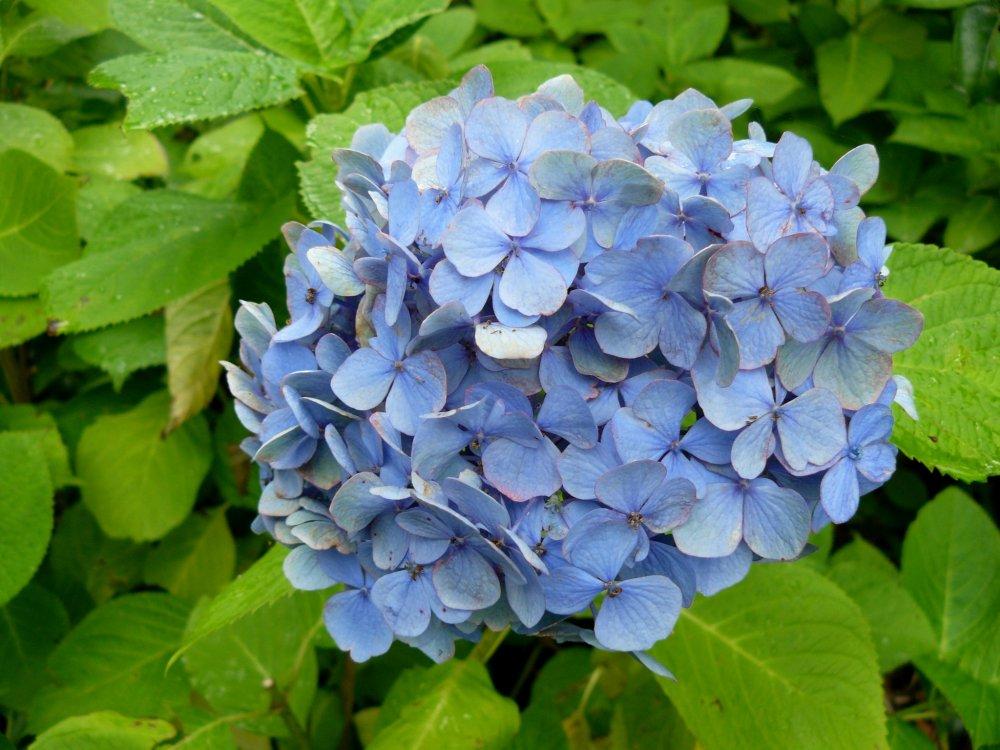 Говорят, что голубые гортензии растут на кислой почве