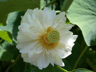 Os lótus brancos e grandes ocupam a metade inferior do jardim