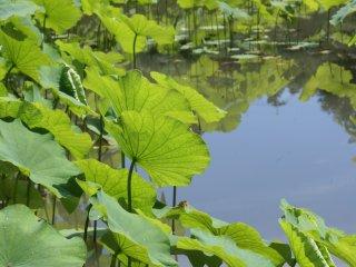As flores são plantadas acompanhando a forma sinuosa do lago