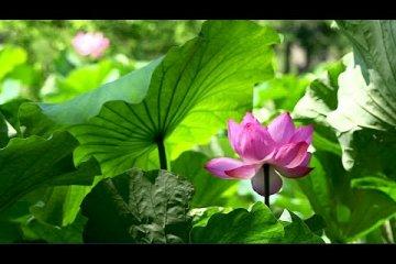 สวน Sankei-en ในฤดูร้อน