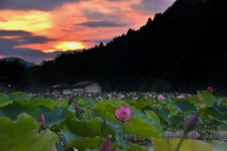 花ハス天国 幻想の夜