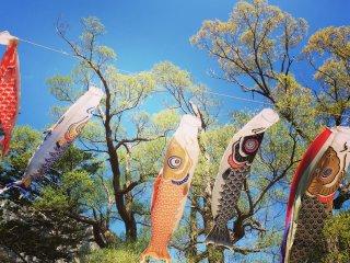 五月份的时候河童桥上会挂上鲤鱼旗