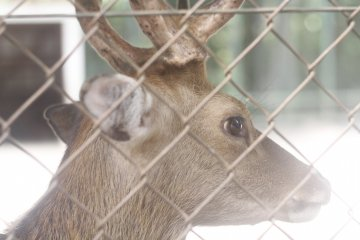 <p>A deer which lives in the park at the back of the shrine.</p>